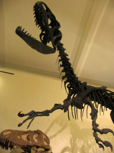This MSU allosaurus was cast from bones unearthed in central Utah