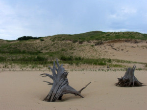 Stumps, reminders of the long-gone forests, dot the eerie dune landscape