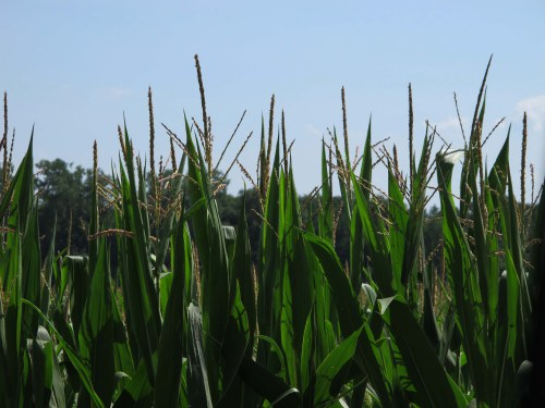 Michigan cornfield---not just for cornroasts anymore