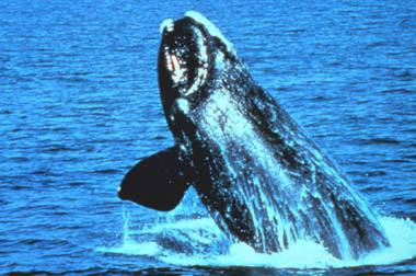 Could whale watching on the Great Lakes be the next big thing? (NOAA photo)