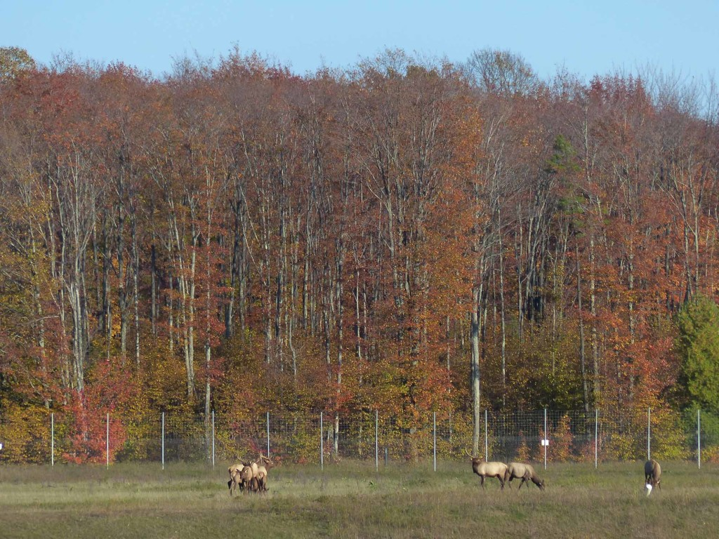 The northern Lower Peninsula has a large population of free-roaming elk. These, at home in Gaylord's Elk Park, are not among them.