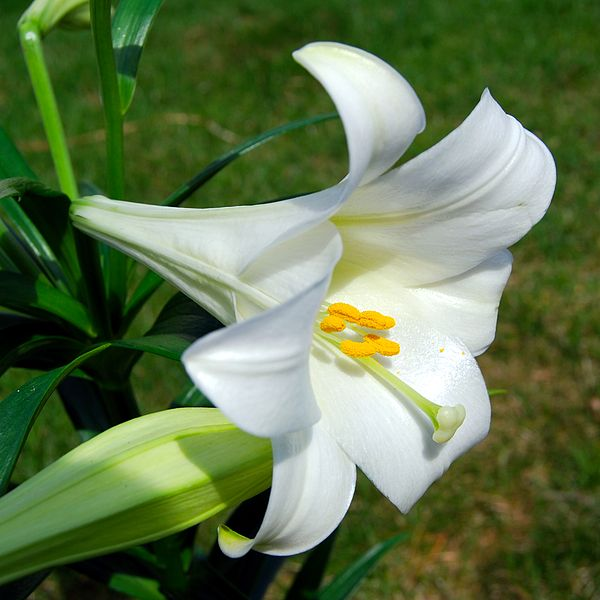 Lilium longiflorum or Easter Lily, a seasonal delight (photo by Matt H. Wade)