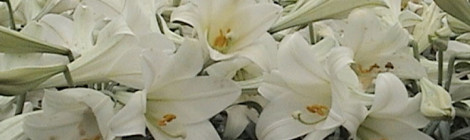 Whoa, Nellie! Michigan Leads in Easter Lilies
