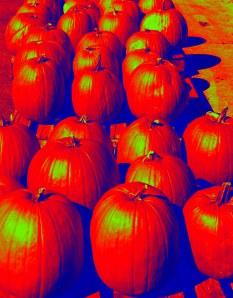 pumpkins-saugatuck_7626
