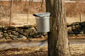 It takes 40 gallons of sap to make one gallon of maple syrup (Michigan Maple Syrup Association photo)