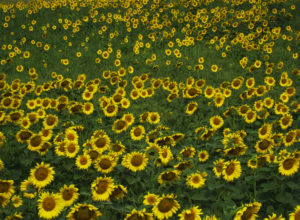 Sunday sunflowers_2434