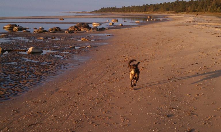 Tucker at play, running the Lake Michigan beach...