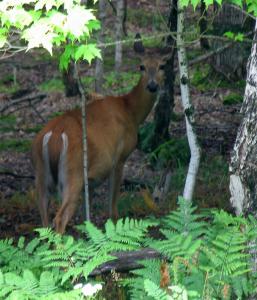 deer_27971